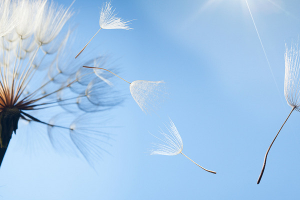 Dandelion seeds blowing in the wind | Sparkhouse Blog